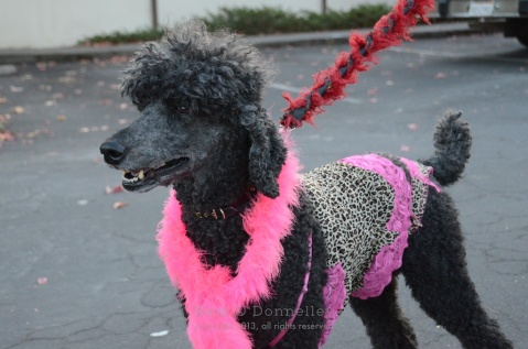 Poodles were decked out for the parade down Fourth street